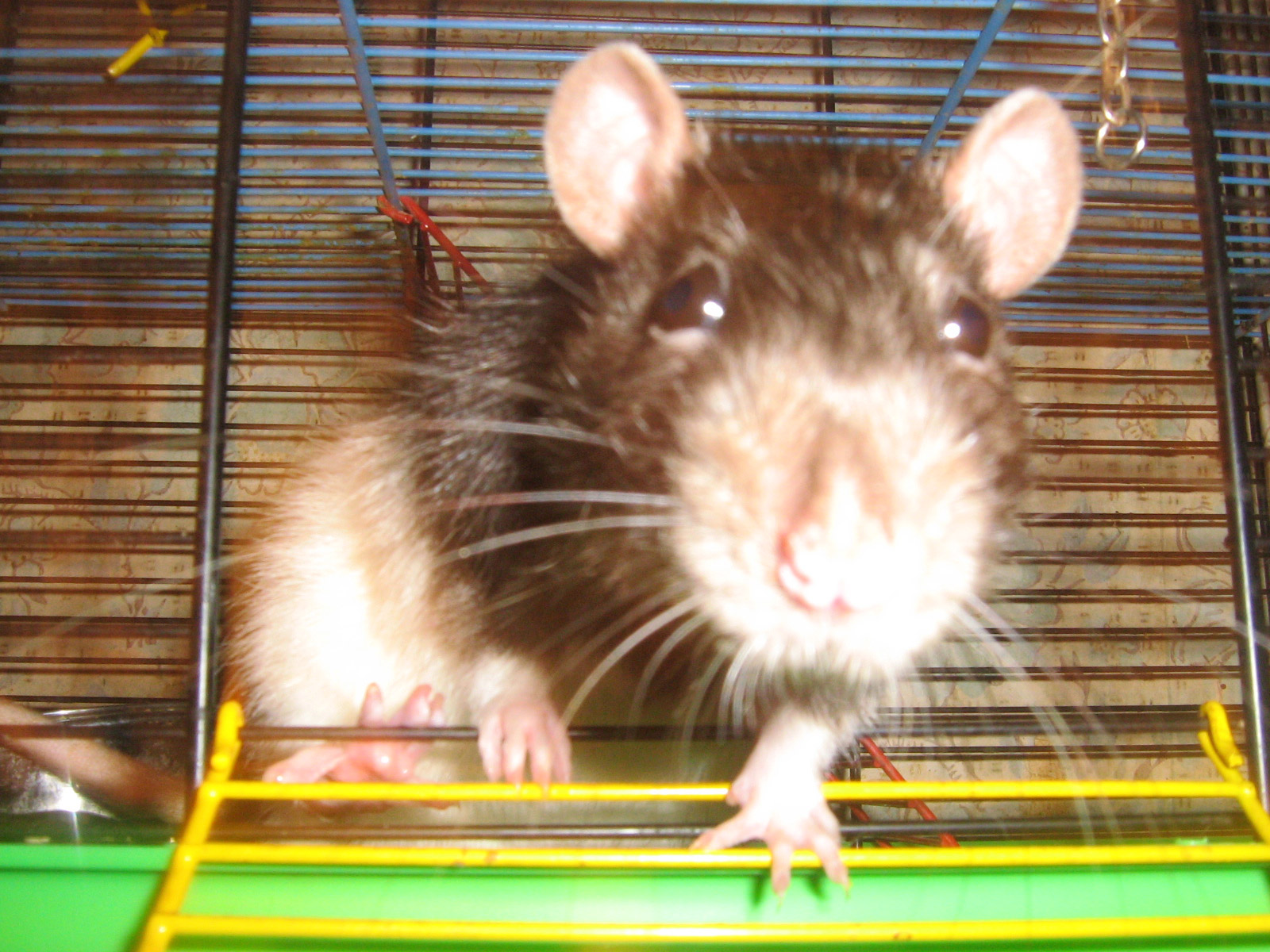 Декоративные крысы, описание, разновидности, уход, содержание